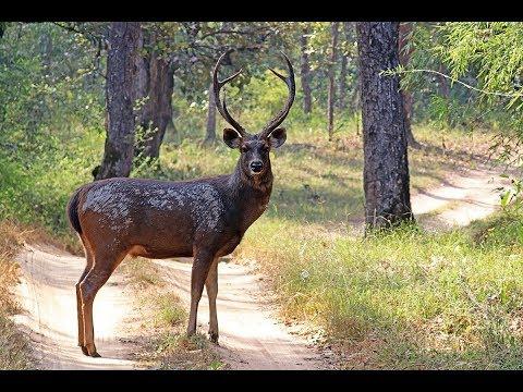 Sambar Deer Facts