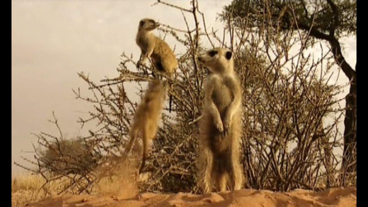 Funny Meerkats - YouTube
