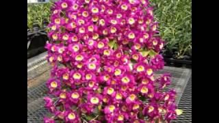 Berbagai Jenis Bunga Anggrek