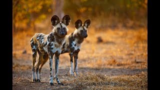 National Geographic Wild -The PACK Wild Dogs - BBC Documentary History