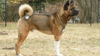 Большая японская собака ещё станет популярной