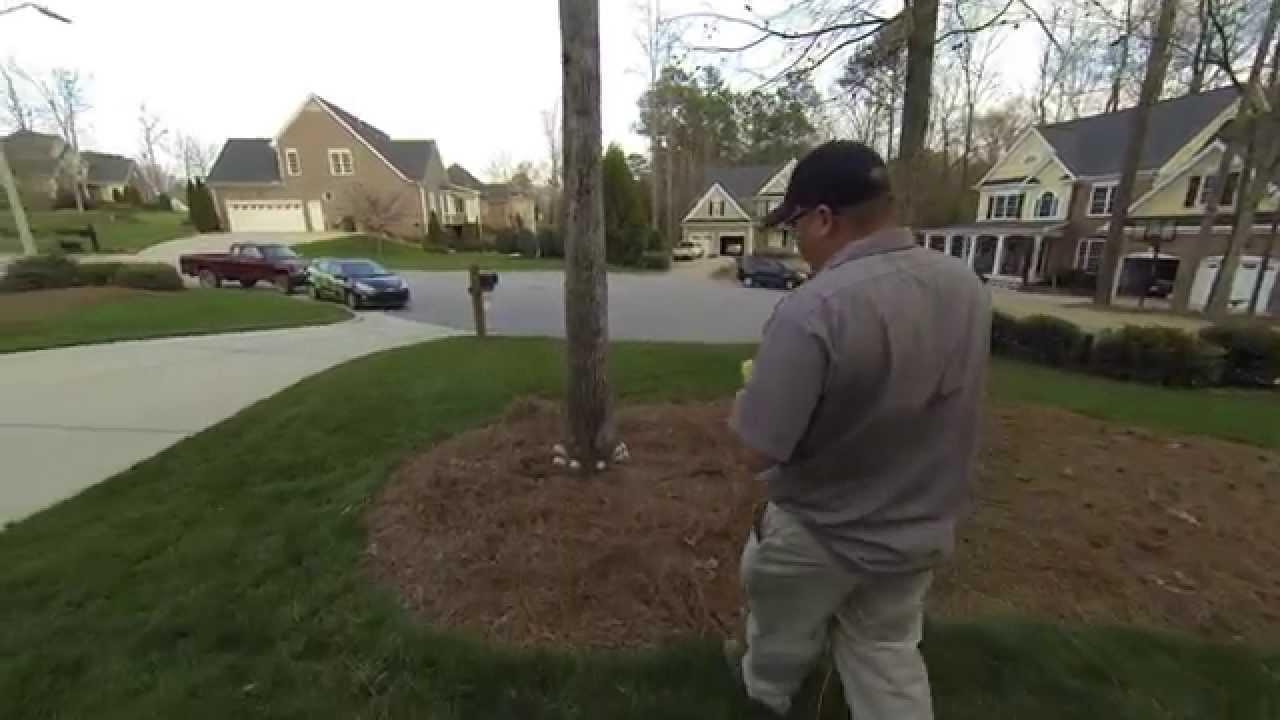 Arbormax Tree Service Eliminating Sweetgum Balls Youtube