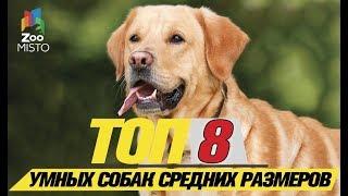 Топ 8 самых умных средних собак  \Top 8 smartest medium dogs