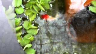 金魚鉢の水質も安定した屋外水槽の光景 thumbnail