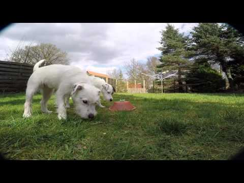 Parson Russell Terrier vs Quadcopter