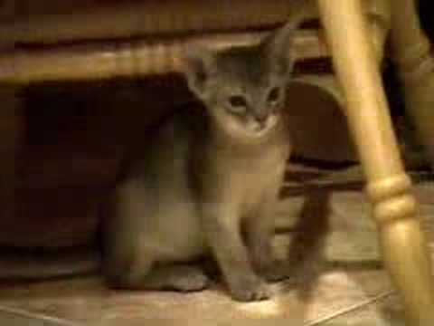Blue Abyssinian kittens get a free ride!