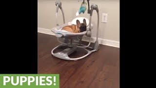French Bulldog puppy naps in baby's swing