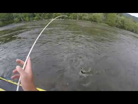 Massive Walleyes In The French Broad Smashing Crank Baits