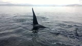 Orca's west coast Canada