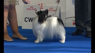 Papillon at Euro dog show 2018 in Warsaw
