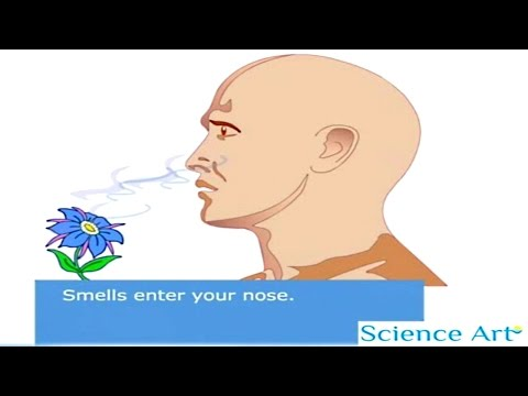 How Your Nose Works Animation - Sense Of Smell Video - How Do Humans Detect Odors - Olfactory System
