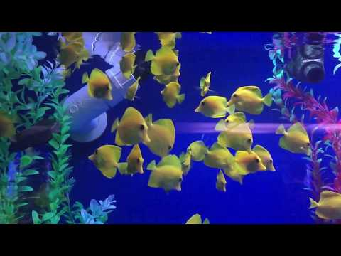 Last Stock of Yellow Tangs @ LFS since Hawaii lobby to ban fish exports.