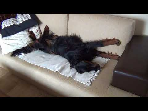 Gordon setter sleeping