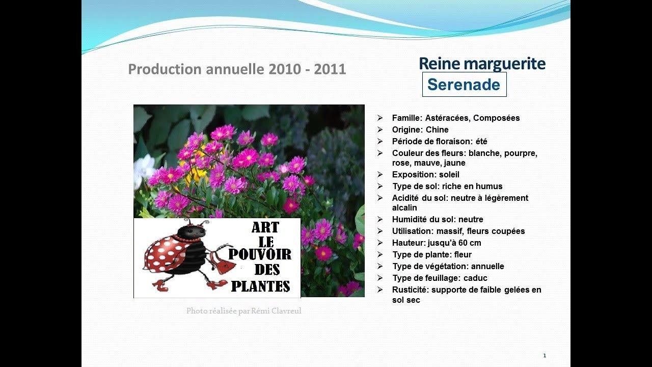 reine marguerite serenade: plante annuelle - youtube
