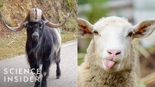 How Animals Looked Beḟore We Bred Them