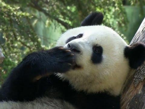 Raw: Panda Celebrates 2nd Birthday at Madrid Zoo