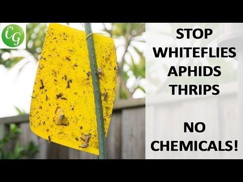 How To Control Whitefly & Aphids Without Using Chemicals & Pesticides