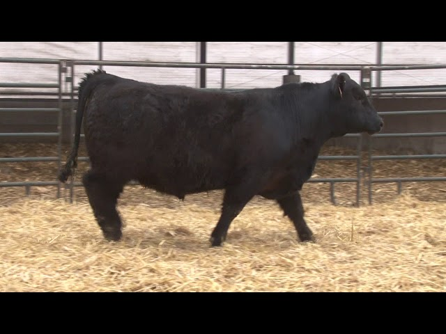 Schiefelbein Angus Farms Lot 309