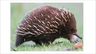 e1 BIOLOGY oviparous mammals