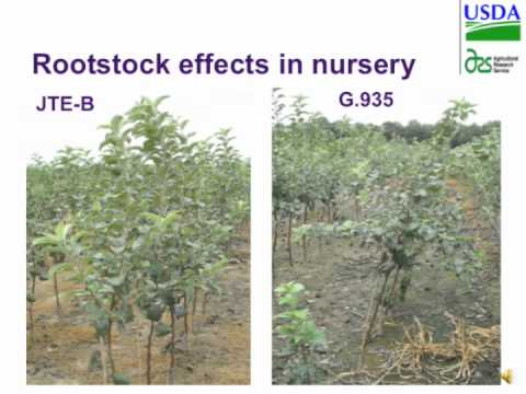 Apple Rootstocks and the Quest for Marker Assisted Breeding