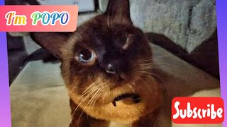 Siamese Cat/The Existential Cat/I'm PoPo/Slideshow