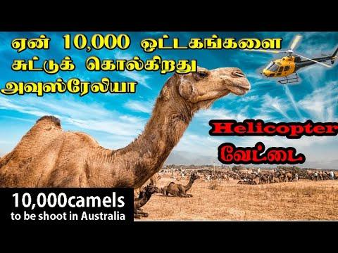 10 ஆயிரம் ஒட்டகங்களை ஏன் கொல்லப்போகிறது அவுஸ்ரேலியா| Why is Australia killing thousands of camels?