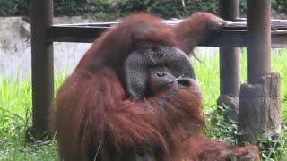 See Orangutan Smoking in Video That's Sparking Animal Activist Uproar