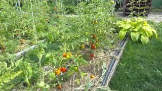 Баклажаны и помидоры 7 июля 2014 на умных грядках.(Первые помидоры начали собирать 18 июня в открытом грунте без парничков, а вот баклажаны 7 июля. www.globusbm.com..., 2014-07-07T16:04:34.000Z)