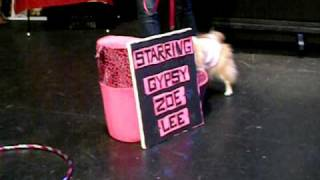 Gypsy Zoe Lee The Pomeranian Performs Her Talent At The 2009 Barking Beauty Pageant Nyc