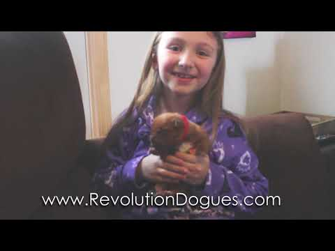 Dogue De Bordeaux Puppies Week 1