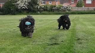 Fun with the Hungarian Puli dogs