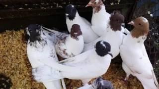 Бакинские бойные голуби Ткаченка Александра