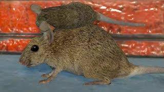 СИМУЛЯТОР маленькой КРЫСЫ в городе приключение мыши веселая развлекательная игра для детей от КИДА