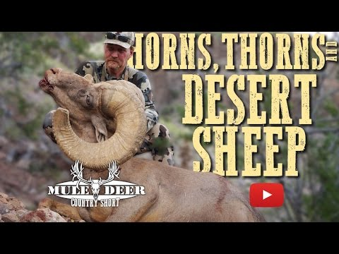 Monster Desert Sheep Hunting
