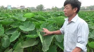 Vua trồng khoai sọ làng Chằm