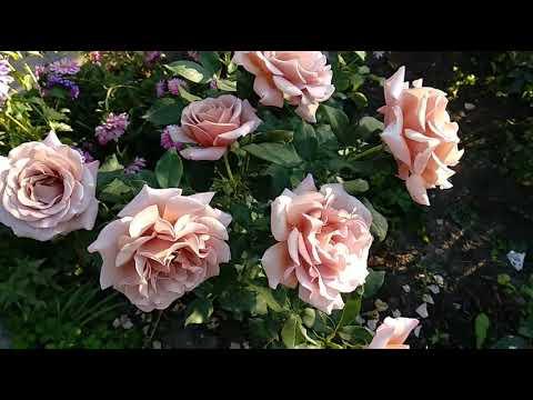 Розы. Две необычные красавицыподружки.