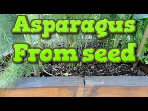 Get Growing asparagus from seed and transplanting Pictures