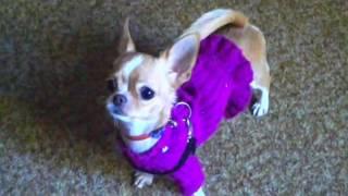 Как мини чихуахуа радуется перед прогулкой \ As the dog is happy to walk