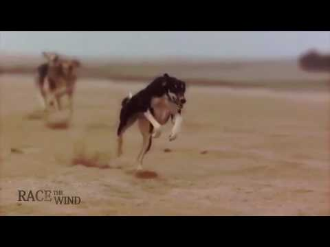 RACE THE WIND Persian & Arabian Sighthound • Saluki Sloughi Desert Hunting Dog Galgo Greyhound