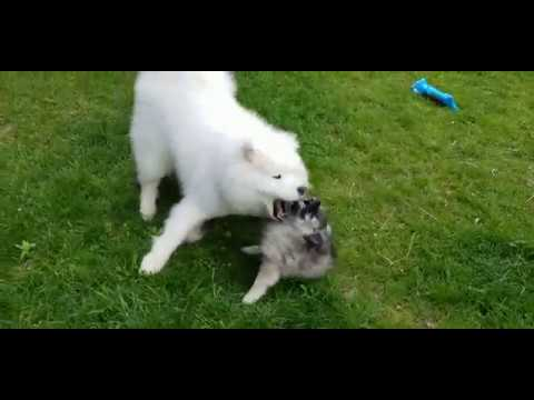 Keeshond and Samoyed Wrestlemania