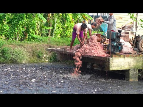 Feeding Live Food To Catfish | Hybrid Magur Fish Farming Business In India - Fish World