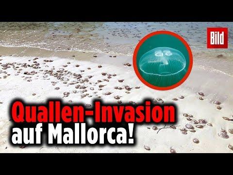Quallen-Alarm Auf Mallorca – Tausende Ohrenquallen An Der Cala D'Or Angespült