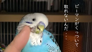Budgie With Piece of Bell Pepper Stuck to His Chin