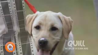 PET FILM - Quill The Life of a Guide Dog