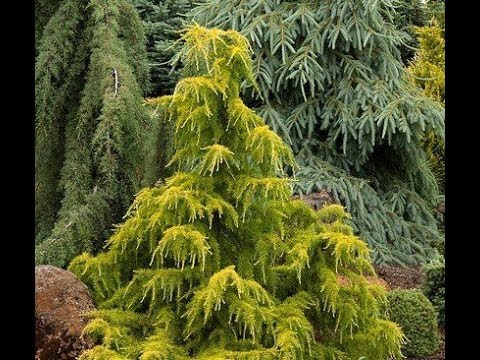 Conifers In The Garden/Garden Style Nw