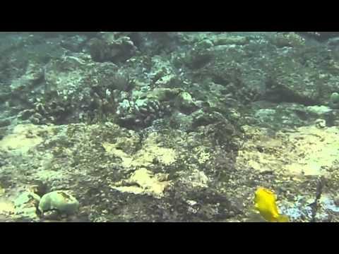 Hawaiian Triggerfish, the Humuhumunukunukuapua