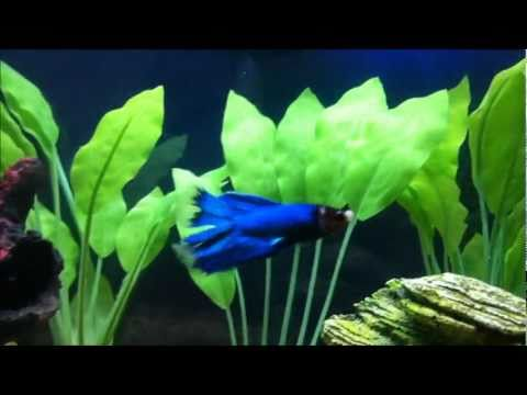 My Happy Betta Fish 2011