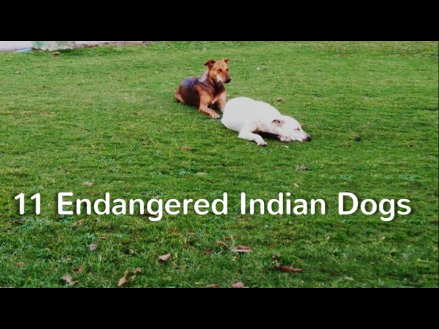 11 Endangered Indian Dogs