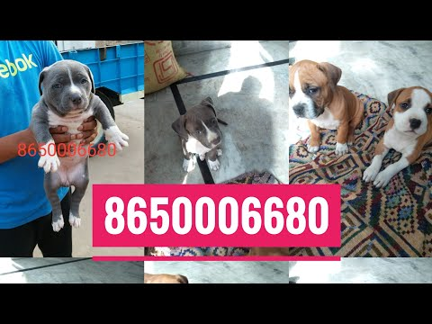 Pitbull puppies for sale in pure quality By Rohit Dog kennel 8650006680 in Dehradun Uttrakhand