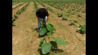 TEAK PLANTS NURSERY